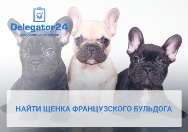 Где найти щенка французского бульдога. Блог сервиса бизнес-ассистентов Делегатор24